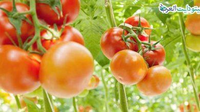 صورة هل الطماطم مسموحة في الكيتو.. 8 فوائد رائعة لحميتك