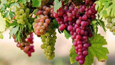 صورة هل العنب مسموح في الكيتو : هذا المنتج الوحيد المسموح في حميتك